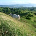 Cow in Batanes
